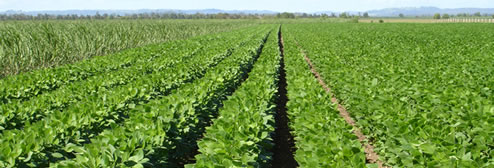 Row cropping soybean
