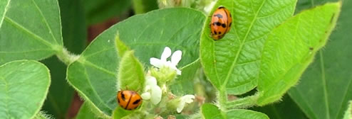 Soybean flowers &amp; ladybirds